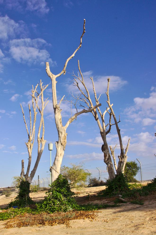 arbres H